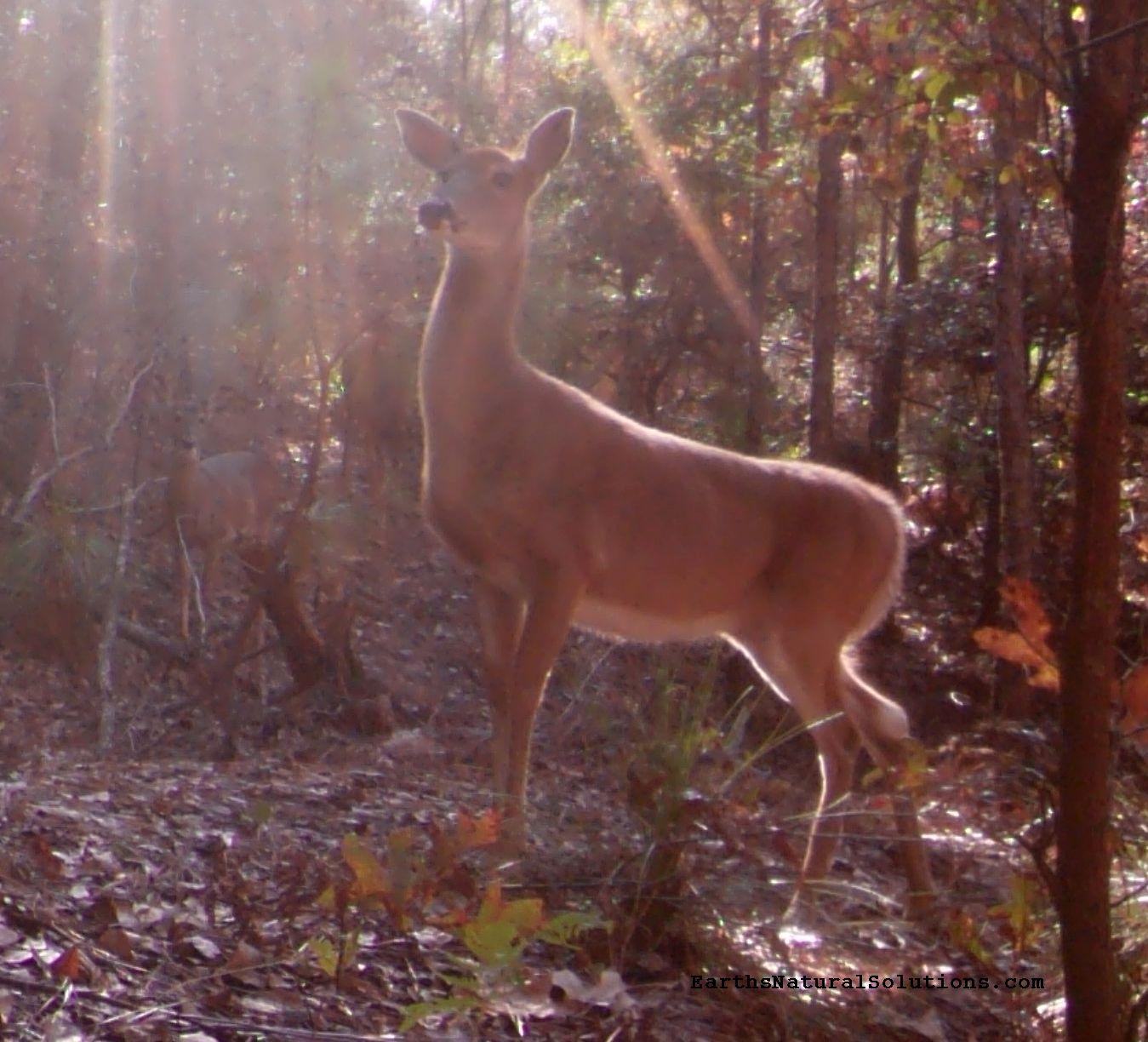 deer-pic11