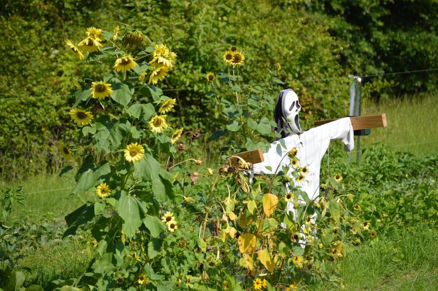 Are Sunflowers Deer Resistant?